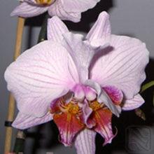 История моего Фаленопсиса. Double phalaenopsis