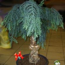 Araucaria Араукария