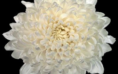 хризантема гагарин