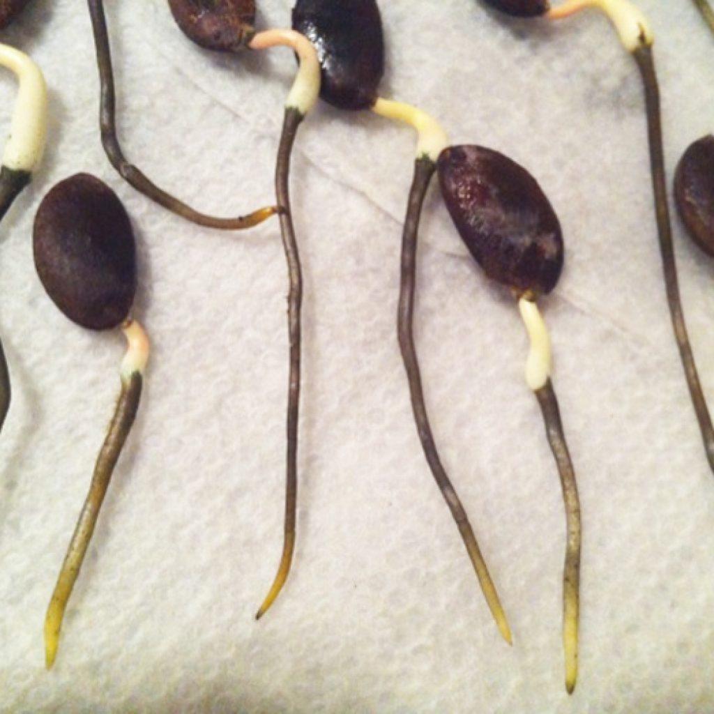 Как посадить семена хурмы в домашних условиях
