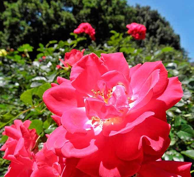 роза валентина терешкова