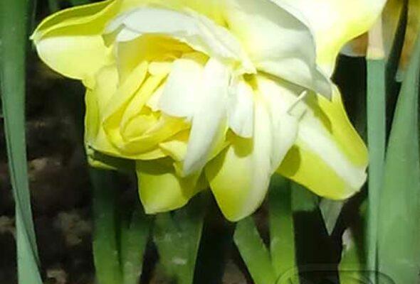 Бело - зеленые цветы