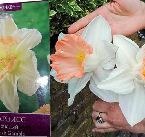 Достоверно о трубчатых нарциссах весенняя роскошь в саду