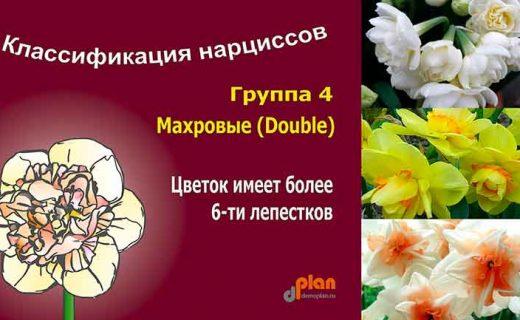 Махровые нарциссы - реальное торжество весны в саду
