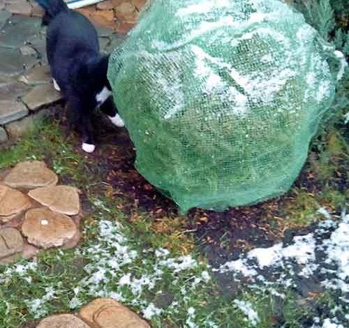 4 причины укрывать хвойные растения, способ укрытия вечнозеленых растений
